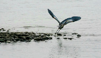 Blue Heron Lifting Off