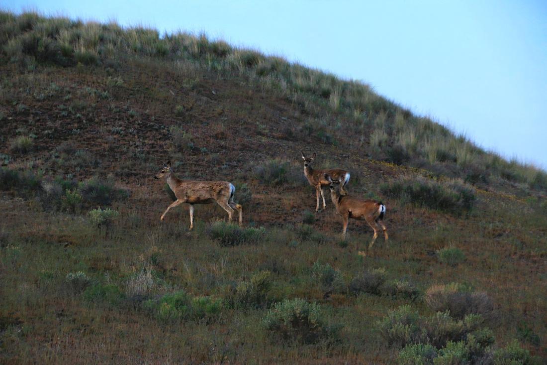 Deer on Painted Hills